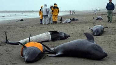 Vice než 130 delfínu se vyplavilo na břeh v Japonsku