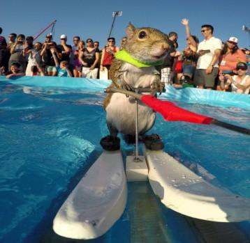 Veverka, která jezdí na vodních lyžích.